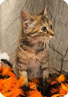 Domestic Shorthair Kitten for adoption in Muskegon, Michigan - Mookee