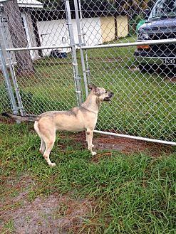 German Shepherd Dog Mix Dog for adoption in Fort Myers, Florida - Sheba