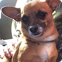 Adopt A Pet :: Peanut - Healdsburg, CA