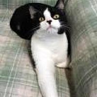 Domestic Shorthair Cat for adoption in Stuart, Virginia - Misfit