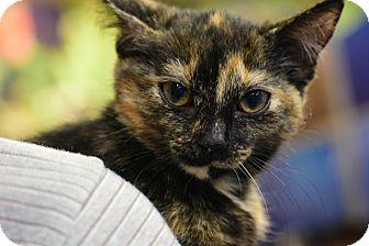 Domestic Shorthair Kitten for adoption in Raleigh, North Carolina - PEPPER