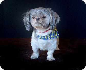 Shih Tzu Dog for adoption in Van Nuys, California - Brimley