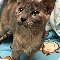 Adopt A Pet :: ADOPTED!!!   Feline Dion - Gahanna, OH