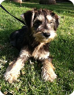 Schnauzer (Standard) Puppy for adoption in San Diego, California - PEPPER
