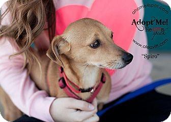 Dachshund/Chihuahua Mix Dog for adoption in Las Vegas, Nevada - Spiro