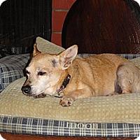 Chihuahua/Corgi Mix Dog for adoption in Santa Ana, California - Mozart