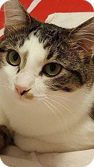 Domestic Shorthair Cat for adoption in Mackinaw, Illinois - Tegan