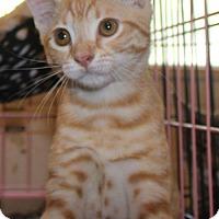 Adopt A Pet :: Shoelace - Herndon, VA