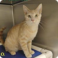 Domestic Shorthair Cat for adoption in Triadelphia, West Virginia - B-8