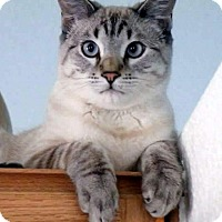 Siamese Cat for adoption in North Las Vegas, Nevada - Baby