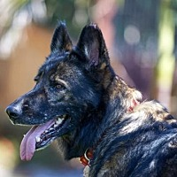 German Shepherd Dog Dog for adoption in San Diego, California - Laika