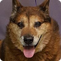 Akita Mix Dog for adoption in Tucson, Arizona - LUCKY