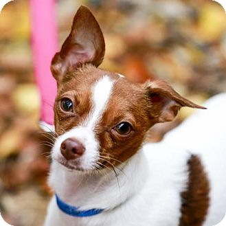Chihuahua Mix Dog for adoption in Kettering, Ohio - Lyle