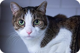 Domestic Shorthair Cat for adoption in New York, New York - Saturn