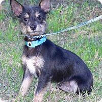 Miniature Pinscher/Cairn Terrier Mix Dog for adoption in Jacksonville, Florida - CARTER