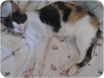 Calico Cat for adoption in Morgan Hill, California - Maybel