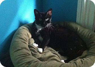 Domestic Shorthair Cat for adoption in New York, New York - Liliana