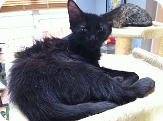Domestic Longhair Kitten for adoption in St. Louis, Missouri - Inky