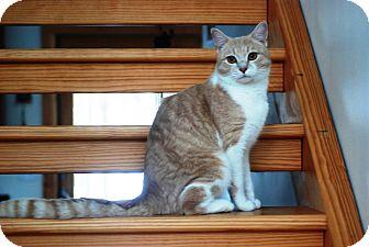 Domestic Shorthair Cat for adoption in N. Berwick, Maine - Freddie