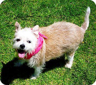 Brussels Griffon Mix Dog for adoption in El Cajon, California - Clara Belle