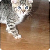 Adopt A Pet :: Kitten #1 - Xenia, OH