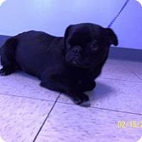 Adopt A Pet :: Mister Black - Shawnee Mission, KS
