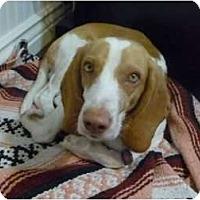 Adopt A Pet :: Hammie - Phoenix, AZ