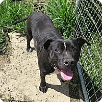 Staffordshire Bull Terrier Mix Dog for adoption in Poland, Indiana - Piglet