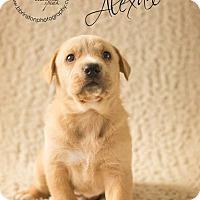 Adopt A Pet :: Alexander - Burbank, CA