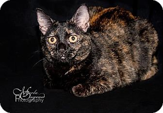 Domestic Shorthair Cat for adoption in Chino Hills, California - Joy