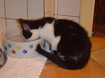 American Shorthair Cat for adoption in Land O Lakes, Florida - Stephanie