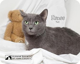 Domestic Shorthair Cat for adoption in Fort Mill, South Carolina - Renee 5562