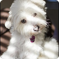 Adopt A Pet :: Sophie-on hold - Mississauga, ON