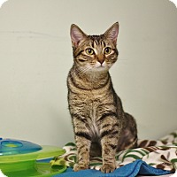 Domestic Shorthair Cat for adoption in Murphysboro, Illinois - Meowyn