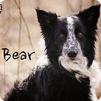 Adopt A Pet :: Bear - Joliet, IL