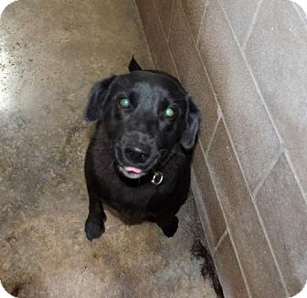 Labrador Retriever Dog for adoption in Waldron, Arkansas - Sheba