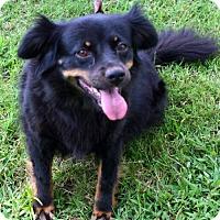 Adopt A Pet :: Sally Quiet Cat Friendly Companion Dog - Rowayton, CT