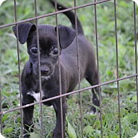 Chihuahua Mix Puppy for adoption in Wilminton, Delaware - Licorice