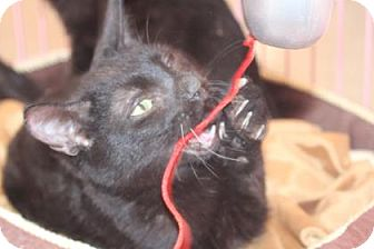 Domestic Shorthair Cat for adoption in Tucson, Arizona - Frankie