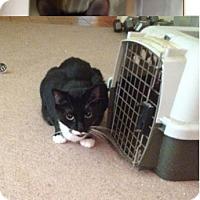 Domestic Shorthair Cat for adoption in Houston, Texas - Tony