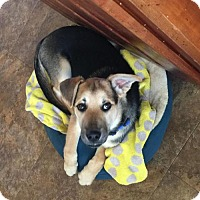 German Shepherd Dog Mix Puppy for adoption in Mt. Airy, Maryland - Boone