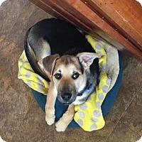 Adopt A Pet :: Boone - Mt. Airy, MD