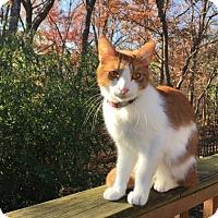 Domestic Shorthair Kitten for adoption in Bentonville, Arkansas - Stormy 2015