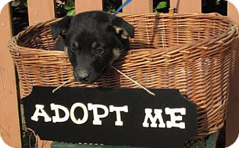 Shepherd (Unknown Type) Mix Puppy for adoption in Springfield, Virginia - Barkley