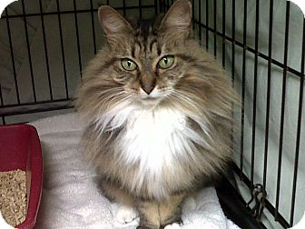 Domestic Longhair Cat for adoption in Mission, British Columbia - Channel