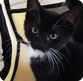 Domestic Shorthair Kitten for adoption in Port Republic, Maryland - Shakira