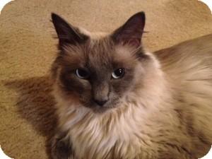 Ragdoll Cat for adoption in Ennis, Texas - Levi