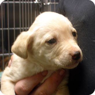 Labrador Retriever Mix Puppy for adoption in baltimore, Maryland - Jericho