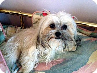 Shih Tzu/Maltese Mix Dog for adoption in Los Angeles, California - HEAVEN