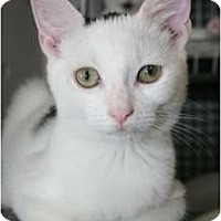 Adopt A Pet :: Spice - Frederick, MD